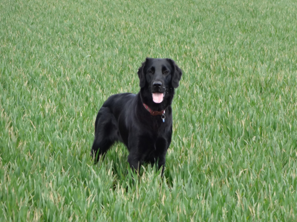 Tallulah in the Winter Wheat
